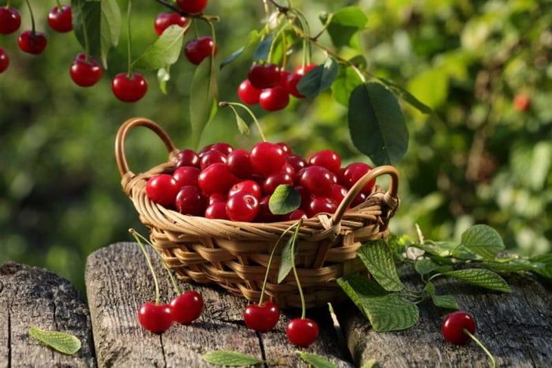 Вишня – сладкий фрукт или классическая ягода?
