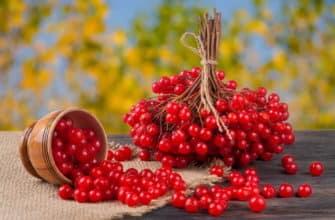 красная калина ягода