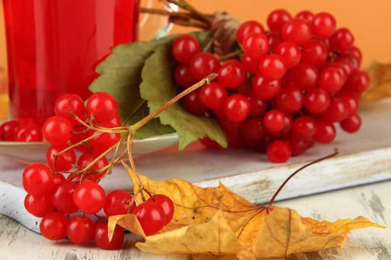 Особенности ягод калины