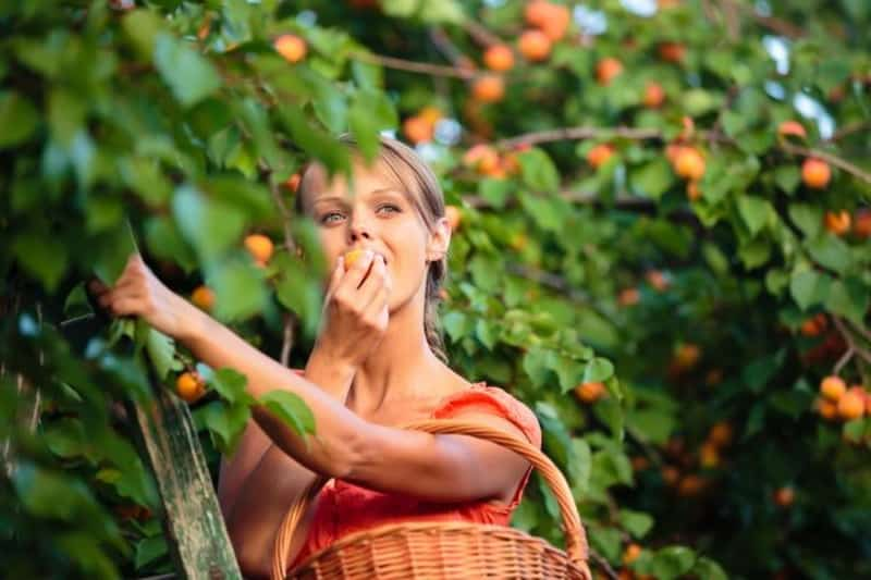 свойства плодов абрикоса