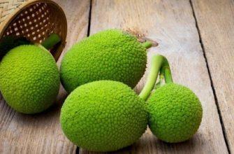 плоды хлебного дерева хлебного дерева