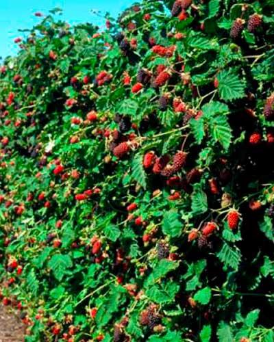 Бойзенова ягода